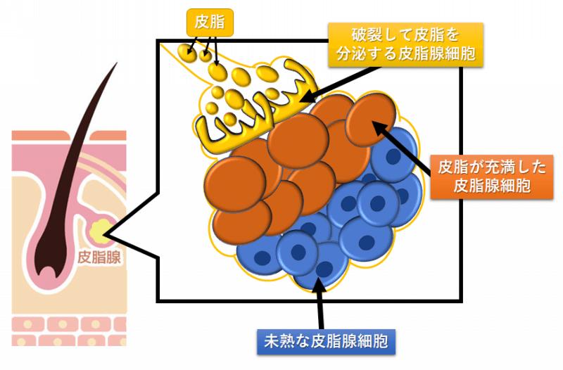 『皮脂分泌』についてのかずのすけ的考察② ~「刺激誘引説」と「平衡状態説」~